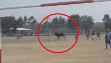 Photo of Toro embistió a un jugador en pleno partido de fútbol