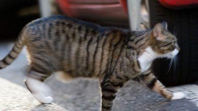 Photo of Gato se montó a un coche atraído por olor a leche, se acostó arriba de la bebé y la mató