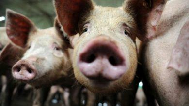 Photo of Hallan en China nuevo virus G4, H1N1 de gripe porcina con potencial pandémico