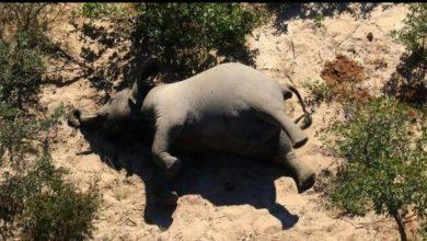 Photo of Encuentran cientos de elefantes muertos en Botswana