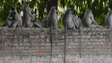 Photo of Grupo de monos que se peleaban tumbaron una pared y fallecieron dos personas