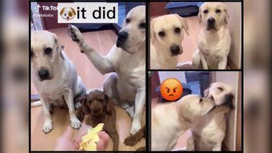 Photo of Video de perro que culpa a otro perro de travesura se hace viral