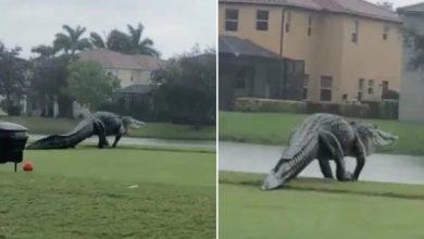 Photo of Gigantesco cocodrilo que fue visto en Florida tras el paso del huracán Eta