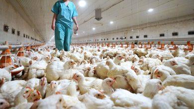 Photo of La OMS reporta el primer caso registrado de transmisión de influenza aviar H5N8 de aves a humanos. Otro peligro serio.